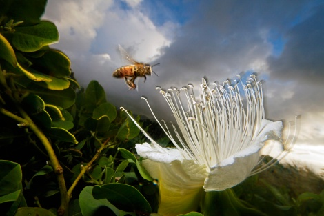 "Bees vibrate in the key of ""Hey Jude"" to make flowers give up the goods. Photograph by Mark Moffett, National Geographic"