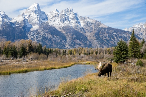 A moose grazes in Grand Teton National Park, Wyoming. Photograph by Charlie Hamilton James, National Geographic.