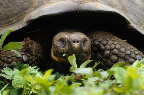 This endangered giant Galapagos tortoise lives at the Charles Darwin Research Station in the Galapagos, where Darwin formed his famous theory. Photograph by Sam Abell, National Geographic.