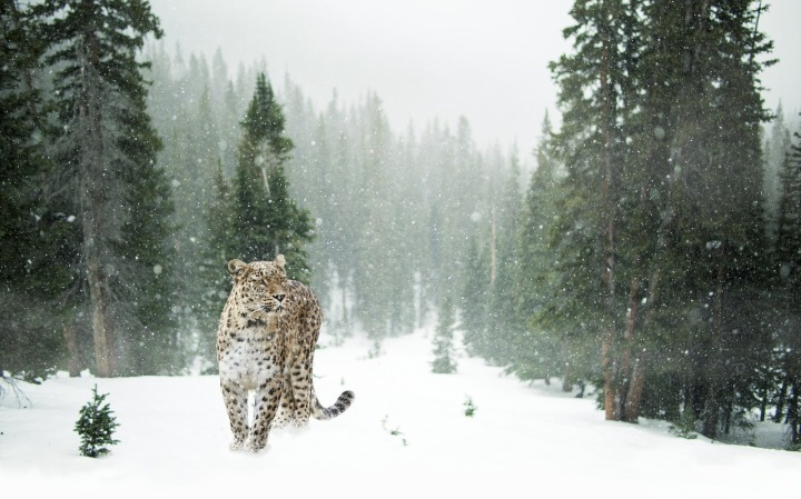 An endangered Persian leopard traverses the rocky foothills of the Caucasus Mountains. Photograph courtesy Max Pixel. CC-0