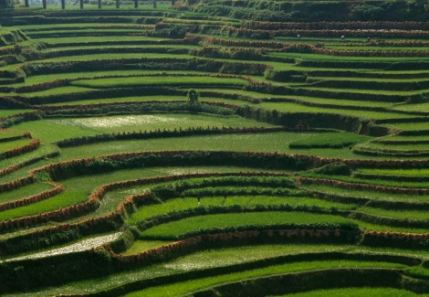 A new fertilizer increased crop yield, even when only half the typical amount of nutrients was added. The study was conducted on rice fields similar to this one in Asia. Photograph by Bruce Dale, National Geographic