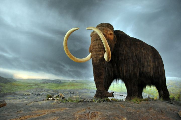 "Woolly mammoths (like this model in the Royal British Colombia Museum in Victoria, British Colombia, Canada) roamed the ""mammoth steppe"" from Eurasia through North America. Photograph by Flying Puffin, courtesy Wikimedia. CC-BY-SA-2.0"