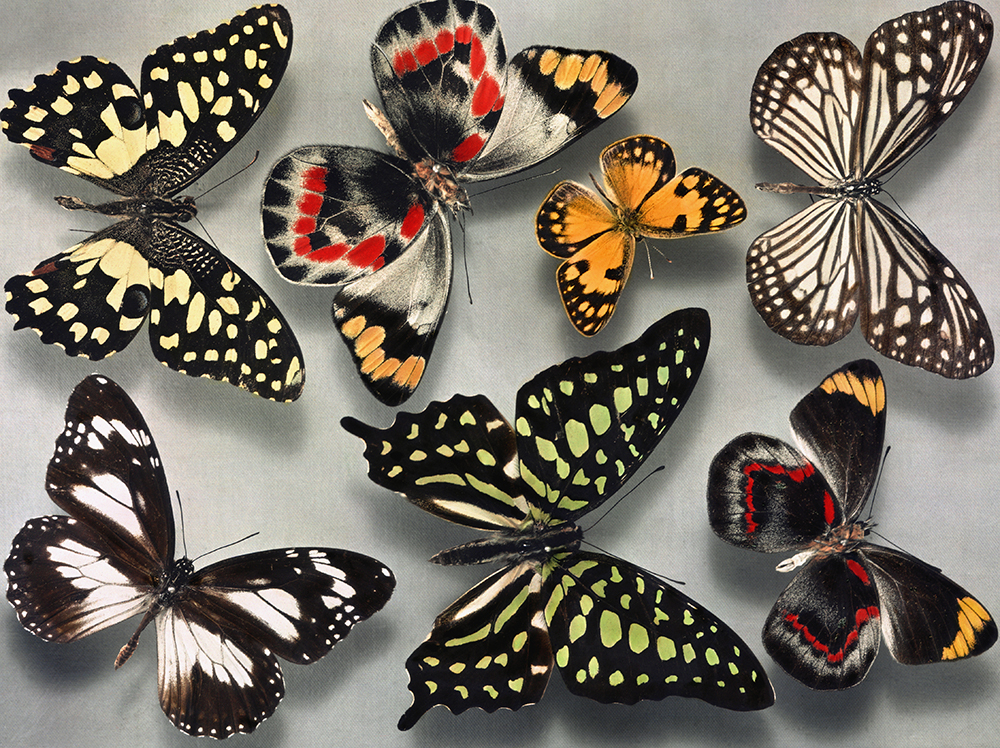 Patterns Genes And Butterfly Wings National Geographic Education Mesmerizing Butterfly Pattern
