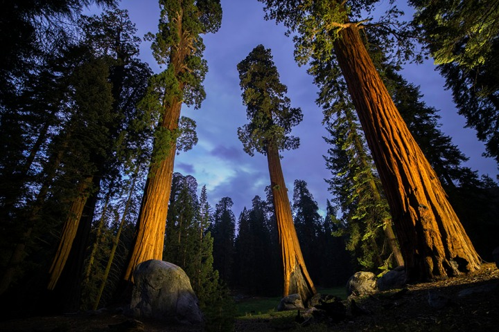 Sequoia National Park's Old Growth Forest, home to some of the tallest and oldest trees in the world