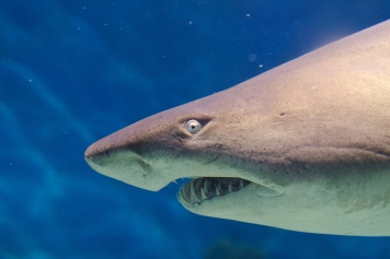 Grey nurse sharks like this one are indigenous to subtropical and temperate coastal waters around the world, including the southeastern U.S. This one enjoying the warm waters of southern Australia. Photograph by VirtualWolf, courtesy Flickr. CC BY-SA 2.0