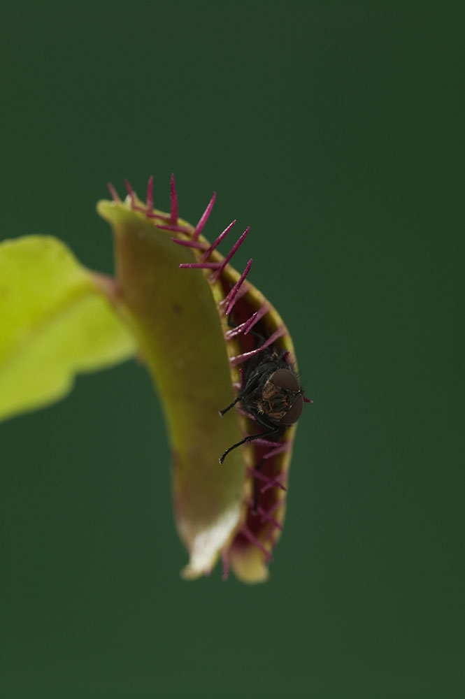 Venus Flytraps Don't Trap Insects that Pollinate Them