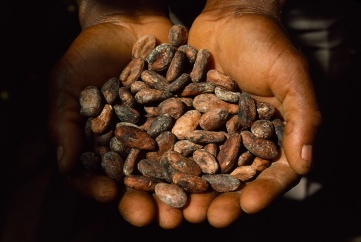 The environmental impact of gold mining (nuggets at left) is reducing agricultural yield from cocoa plots (beans at right). Photographs by George F. Mobley and James L. Stanfield, National Geographic